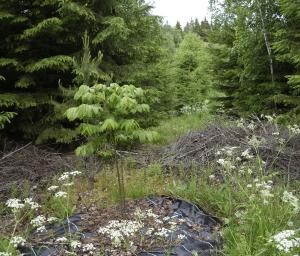 12-5_nya träd i granskog